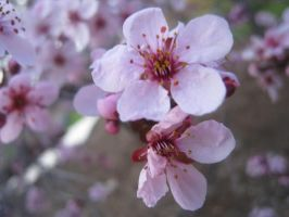 Cherry Blossom by xvictimx