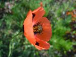 poppy flower by VasiDgallery