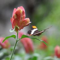 Papillon sur Rose orange II by hyneige