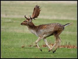 Running Stag by cycoze