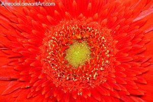 Red Gerbera II by amrodel
