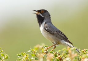 Ruppell's Warbler by Jamie-MacArthur