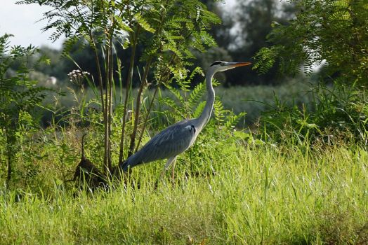 Grey heron by spoii