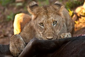 African Lion 27 by catman-suha