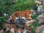 Cheyenne Mtn Zoo 39 Tiger by Falln-Stock