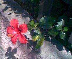 Jamaica flower by LeRosaVare