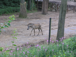 Burger's Zoo, Zebra foal by necrisidragon