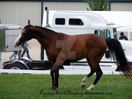 Tennessee Walking Horse 2 by EquineStockImagery