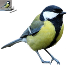 Cut-out stock PNG 85 - great tit by Momotte2stocks