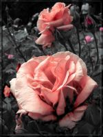 roses are... by DianaLucifera
