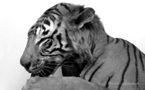 Black and white beauty by Dinofelini
