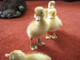 Ducklings by Eleanorjuly