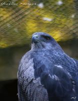 Black-chested Buzzard-Eagle by MorganeS-Photographe