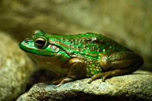 FROG by waspo