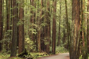 Armstrong Redwoods Sonoma Co. CA by smfoley