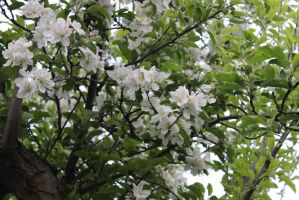 Spring Scenes - Apple Blossoms by Qrinta