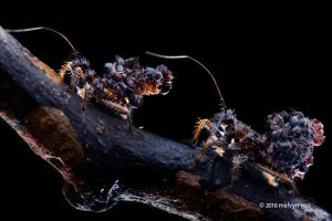 Ant-snatching assassin bug nymph (Acanthaspis sp.) by melvynyeo
