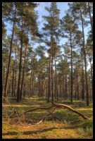 Pine Forest in Fall by Haufschild