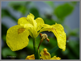 Yellow iris after the rain by Mogrianne