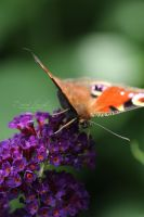 Butterfly by Hazel-Photography