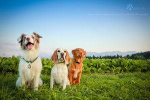 Three dogs in Switzerland by Rozowynos