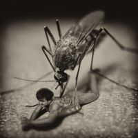 Mosquito by Innadril