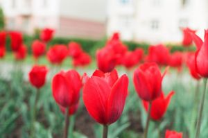 tulips by boltivec