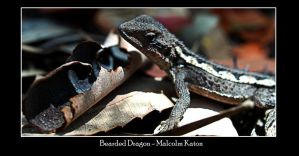 Bearded Dragon by FireflyPhotosAust