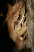 A Frog in a tree by RLPhotographs