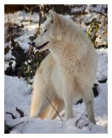 White wolf by KateWalker