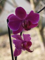 Pink orchids by MellWerr
