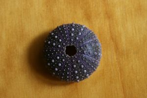 Sea urchin 2 by Dewfooter