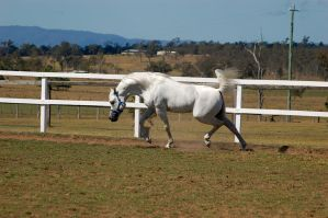 GE Arab white laucning into trot uphill side view by Chunga-Stock