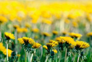 Dandelion Field by PenguinPhotography