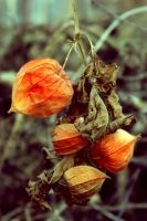 Withered physalis by jagerion