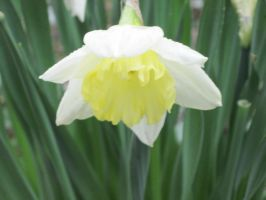 white and yellow daffodil by harry-potter-maniac