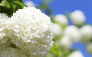 Viburnum opulus - Snowball bush by st3rn1