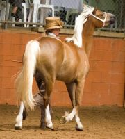 STOCK - 2014 Welsh QLD Show-42 by fillyrox