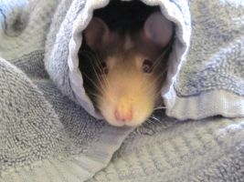 Rattie Snug In A Rug by DuoSmexyMaxwell