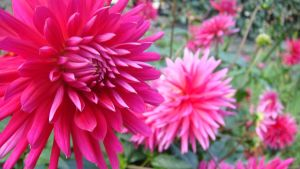 pinky flower by Amika-theonenonly