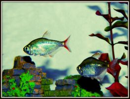 Blue and Red Tetra by SirenSeaQueen