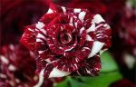Red And White Rose by loulou3897
