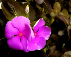 Twin Petals by AmphionZethus