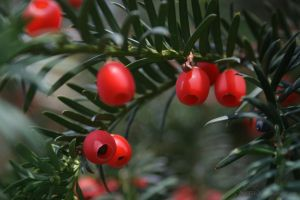 red poison - taxus baccata by Nexu4