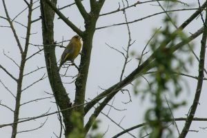 greenfinch by Daan-NL