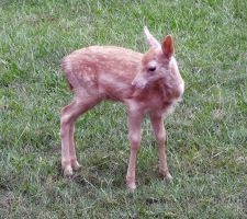 Deer Fawn 028 - Stock by EasternBrumbyStock