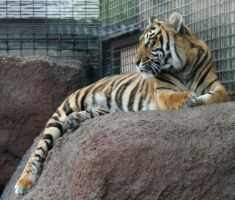 Gage Park Zoo 23 - Tiger by Falln-Stock