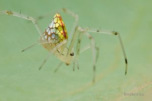Mirror Spider Thwaitesia sp. by melvynyeo