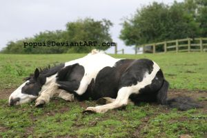 Piebald horse rolling2_stock by popui