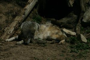 Timber Wolf in Front of Den by docscape